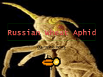 Russian Wheat Aphid