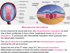 07 - mesodermal