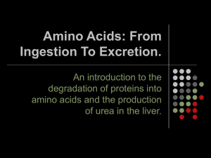 Amino Acids: From Ingestion To Excretion.