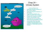Chap 24 – Urinary System