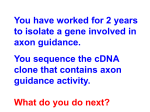 You have worked for 2 years to isolate a gene involved in axon