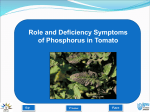 Role and Deficiency Symptoms of Phosphorus in Tomato