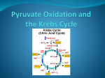 Pyruvate Oxidation and the Krebs Cycle