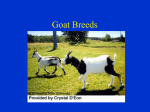 Dairy Goat Breeds - Plainview-Elgin