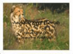 "Animals-""King"" cheetah - kingcheetahandcheetah"