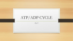 ATP/ADP CYCLE