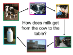 How does milk get from the cow to the table?