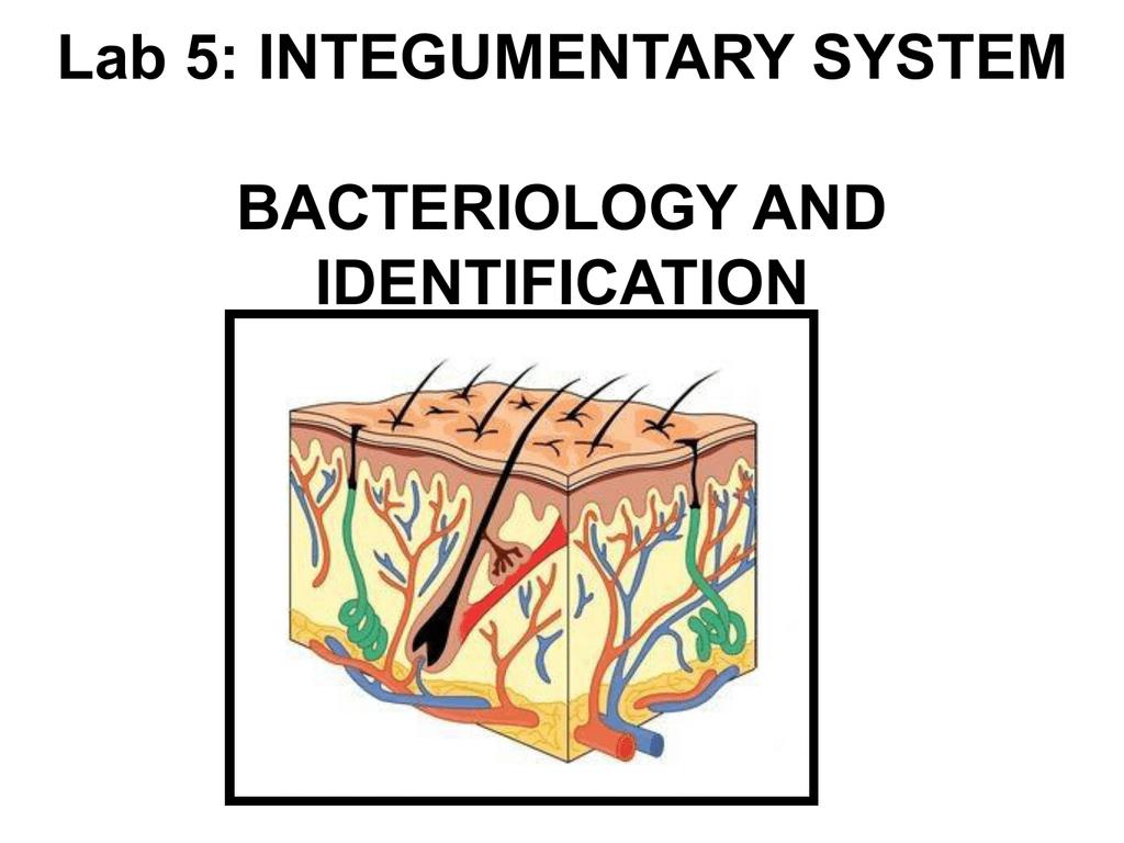 Integumentary System Catalase Mannitol Salt Agar