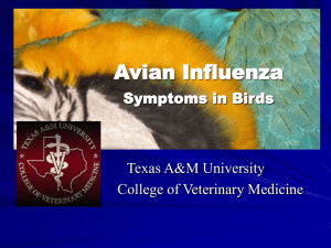 Avian Influenza Brief - Texas A&M College of Veterinary