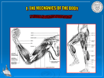 Muscles and the dynamics of body movement