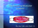 PowerPoint Presentation - The Amazing Muscular System