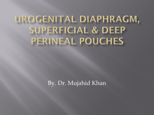 superficial & deep perineal pouches, urogenital diaphragm