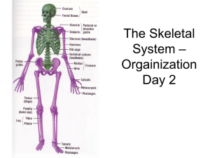 The Skeletal System – Day 2