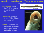 Species American Brook Lamprey