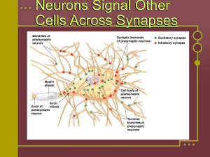 Neurons Signal Other Cells Across Synapses