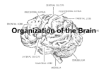 Organization of the Brain - Mr. Van Frachen's Web Page