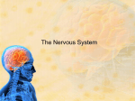 The Nervous System - Sheffield.k12.oh.us