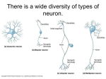There is a wide diversity of types of neuron.