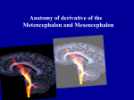 15 Anatomy of the Metencephalon and Mesencephalon