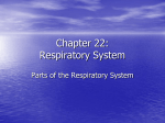 Chapter 23 - Respiratory System