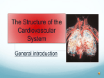 The Structure of the Cardiovascular System