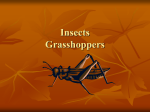 Insects Grasshoppers