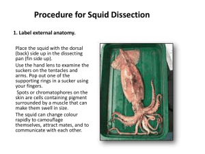 Squid dissection - IGCSE Biology Wikispace