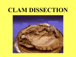 Clam Dissection - local.brookings.k12.sd.us