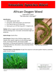 African Oxygen Weed *Not detected in Michigan*