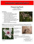 Flowering Rush *Established in Michigan*