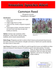 Common Reed *Established in Michigan*
