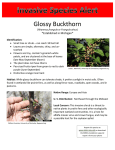 Glossy Buckthorn *Established in Michigan*