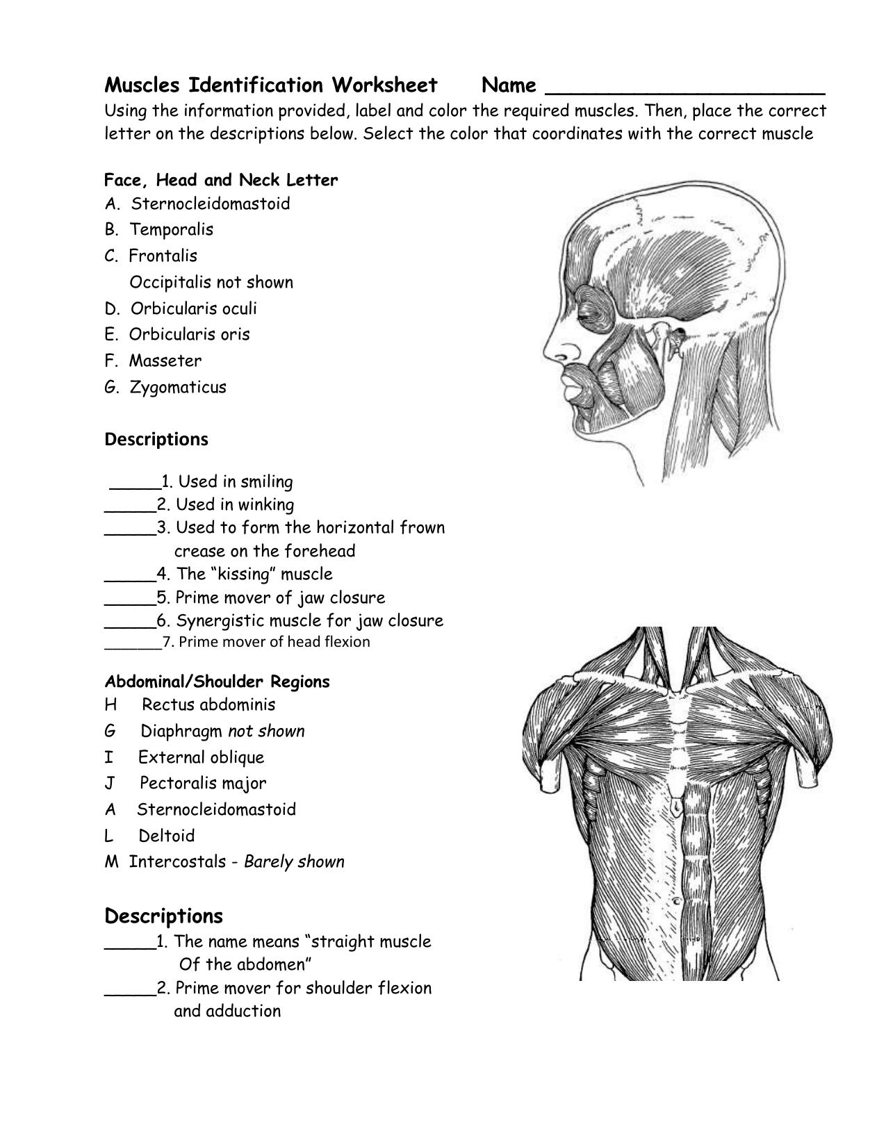 Worksheets Muscle Identification Worksheet muscular system worksheet name