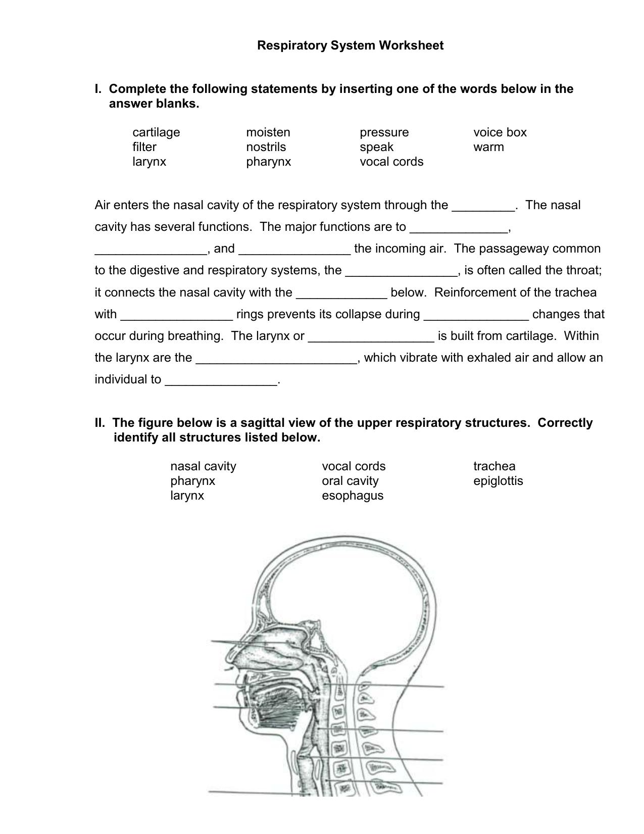 Respiratory System Worksheet Regarding The Respiratory System Worksheet