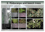 Catchpool cards - Podocarps and beech trees