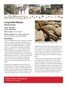 Long-tailed Weasel - Extension Store