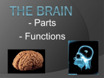 The Brain – parts and functions