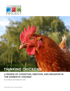 thinking chickens