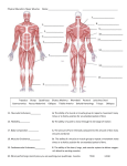 Physical Education: Major Muscles Name: 15. Muscular Enduran