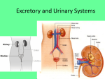 Excretory and Urinary Systems