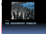 The Rockhopper penguin