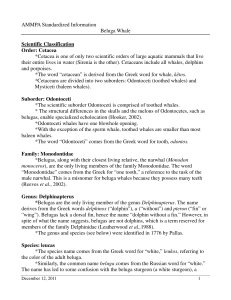 the Beluga Whale Fact Sheet in PDF format