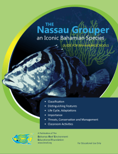 Nassau Grouper - Bahamas Reef Environment Educational