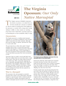 The Virginia Opossum: Our Only Native Marsupial