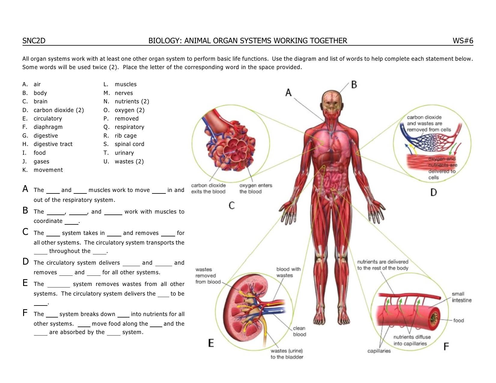 SNC2D BIOLOGY: ANIMAL ORGAN SYSTEMS WORKING