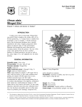 Ulmus alata Winged Elm - Environmental Horticulture