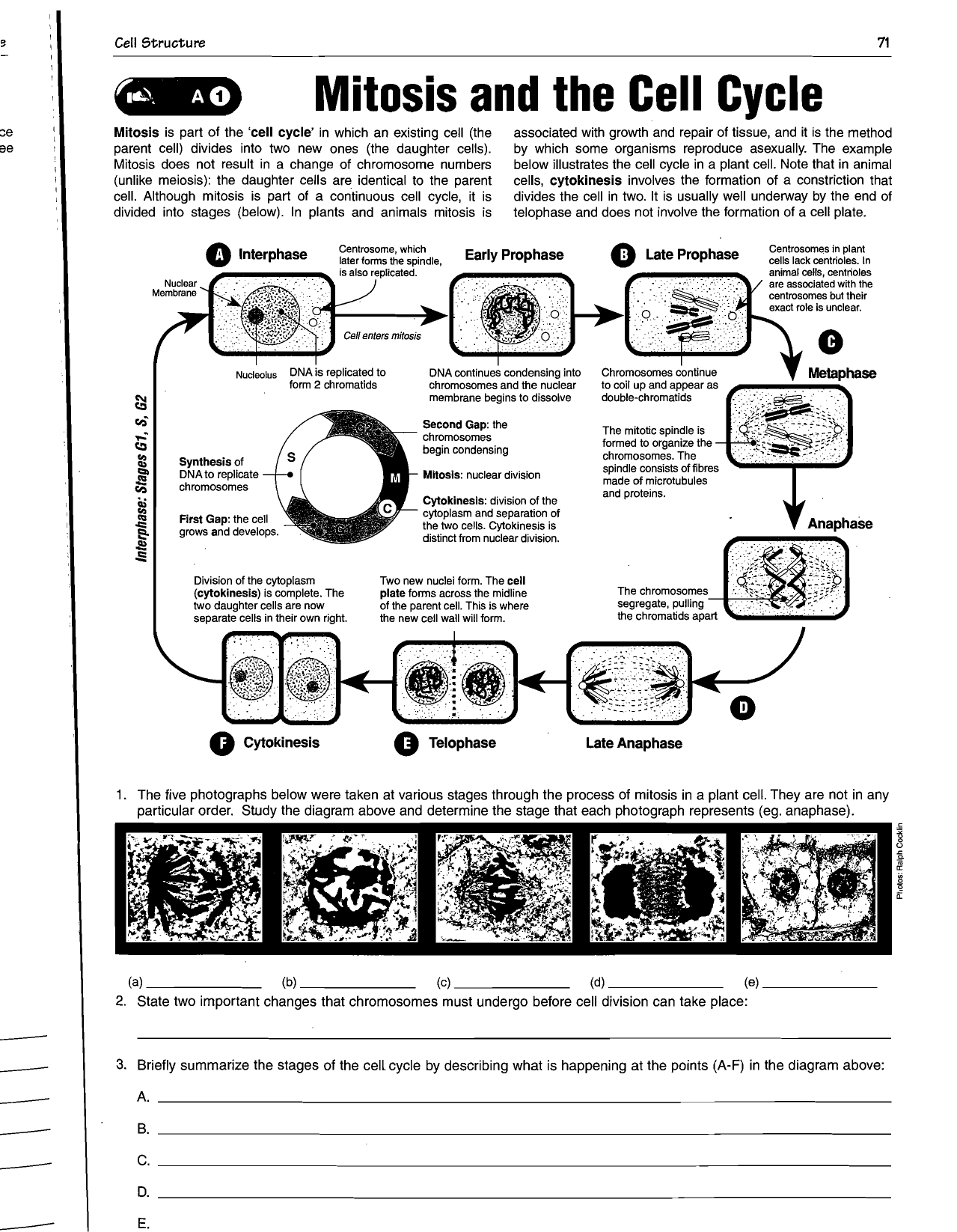 Stages Of Plant Cell Cycle Diagram - Diagramaica