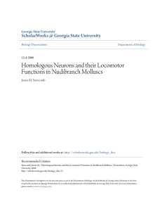 Homologous Neurons and their Locomotor Functions in Nudibranch