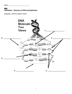 Worksheet – Structure of DNA and Replication