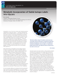 Metabolic Incorporation of Stable Isotope Labels into Glycans